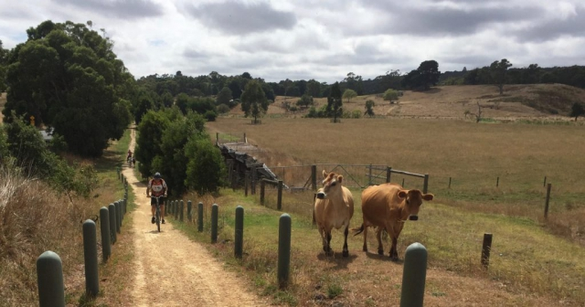 Steve tries to catch those speedy cows on the Tiger Rail Trail.